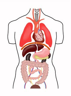 Anatomie corp uman